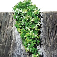 Rostlina do terária TerraPlanta Congo Efeu – 40 cm