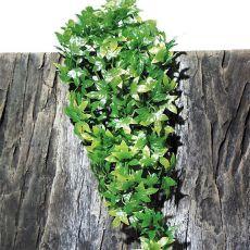 Rostlina do terária  TerraPlanta Congo Efeu – 50 cm